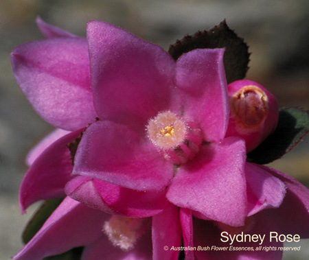 Sydney Rose essence assists us with feeling one with all.