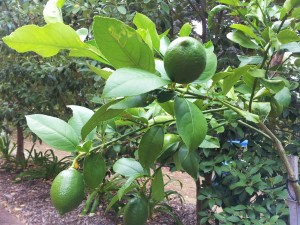 Our baby lemon tree with its first crop.
