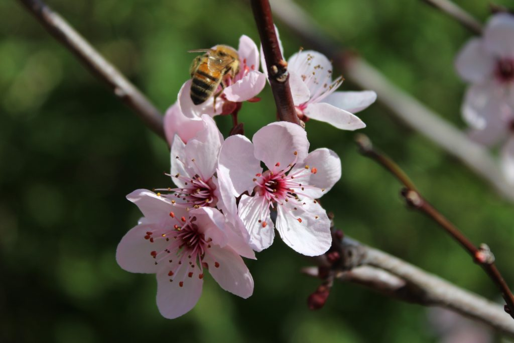 bee on blossoms